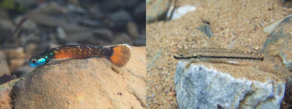 [résolu]Stiphodon sp Goby-male-female_ken-maeda