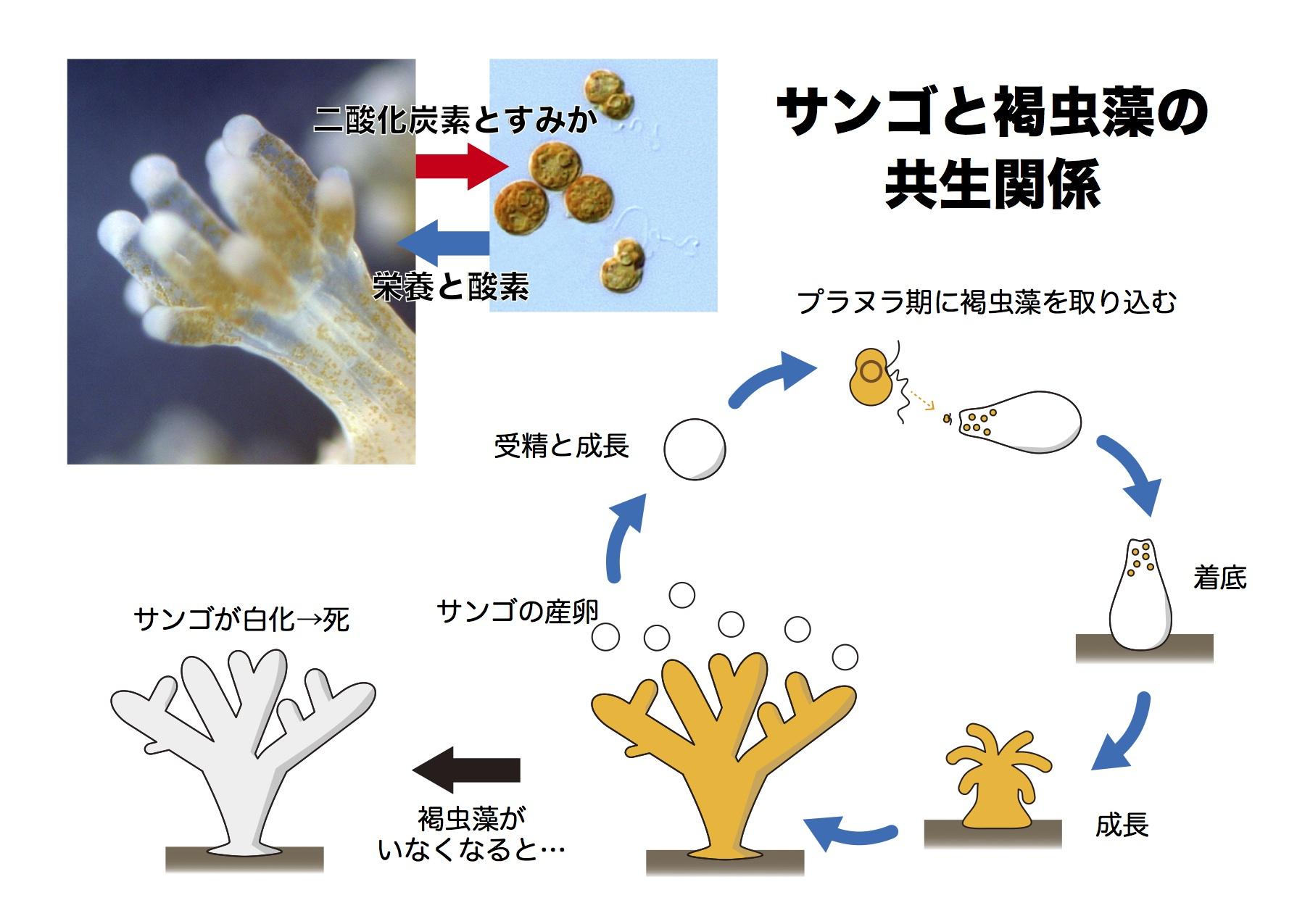 図2 サンゴと褐虫藻の   共生関係
