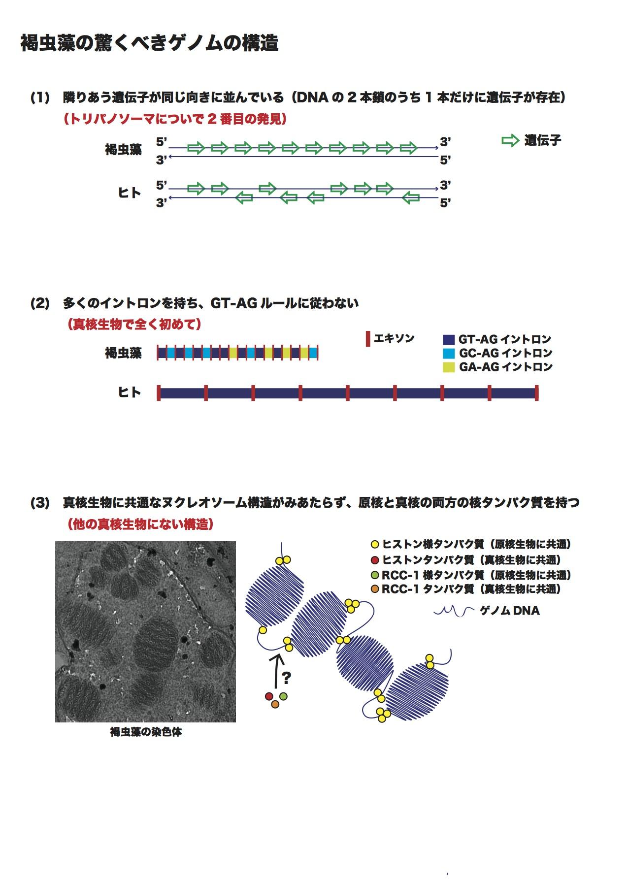 図3 褐虫藻の驚くべきゲノムの構造