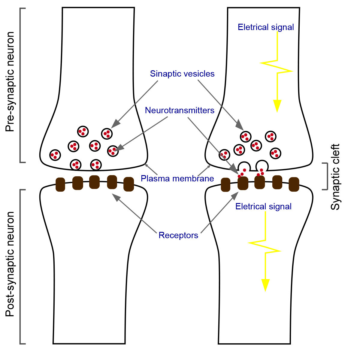 exploring synapses with a gigantic advantage