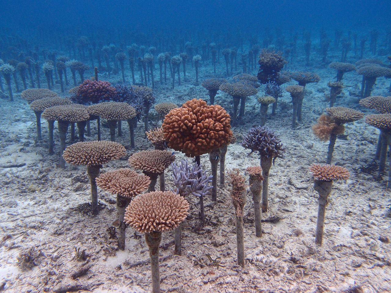 The Coral Reef Preservation and Restoration Project by the Okinawa Prefectural Government (Maeganeku, Onna)
