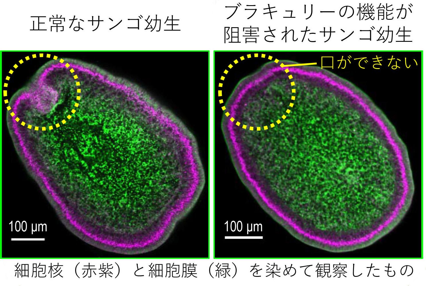 本研究で明らかになったミドリイシサンゴの胚発生におけるブラキュリーの機能