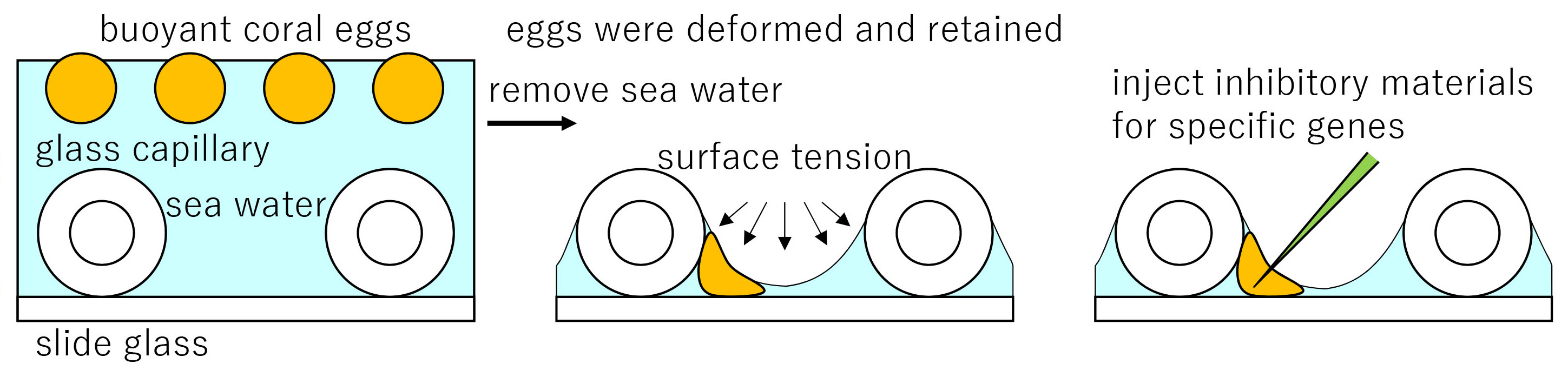Figure 1: New technology allows for microinjection experiments using Acropora eggs. Dr. Yuuri Yasuoka developed a method to study Acropora eggs by using glass capillaries attached to a glass slide to trap the eggs when water is slowly removed. A small amount of water remains in the space between the glass pieces and immobilizes the eggs due to the surface tension of the remaining amount of water.