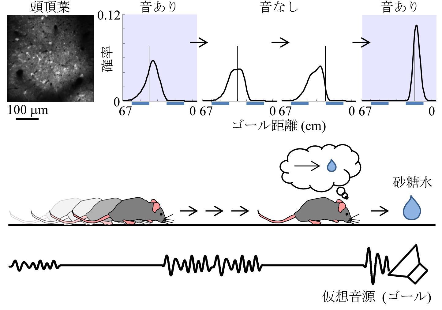 動的ベイズ推定に基づく頭頂葉の距離予測