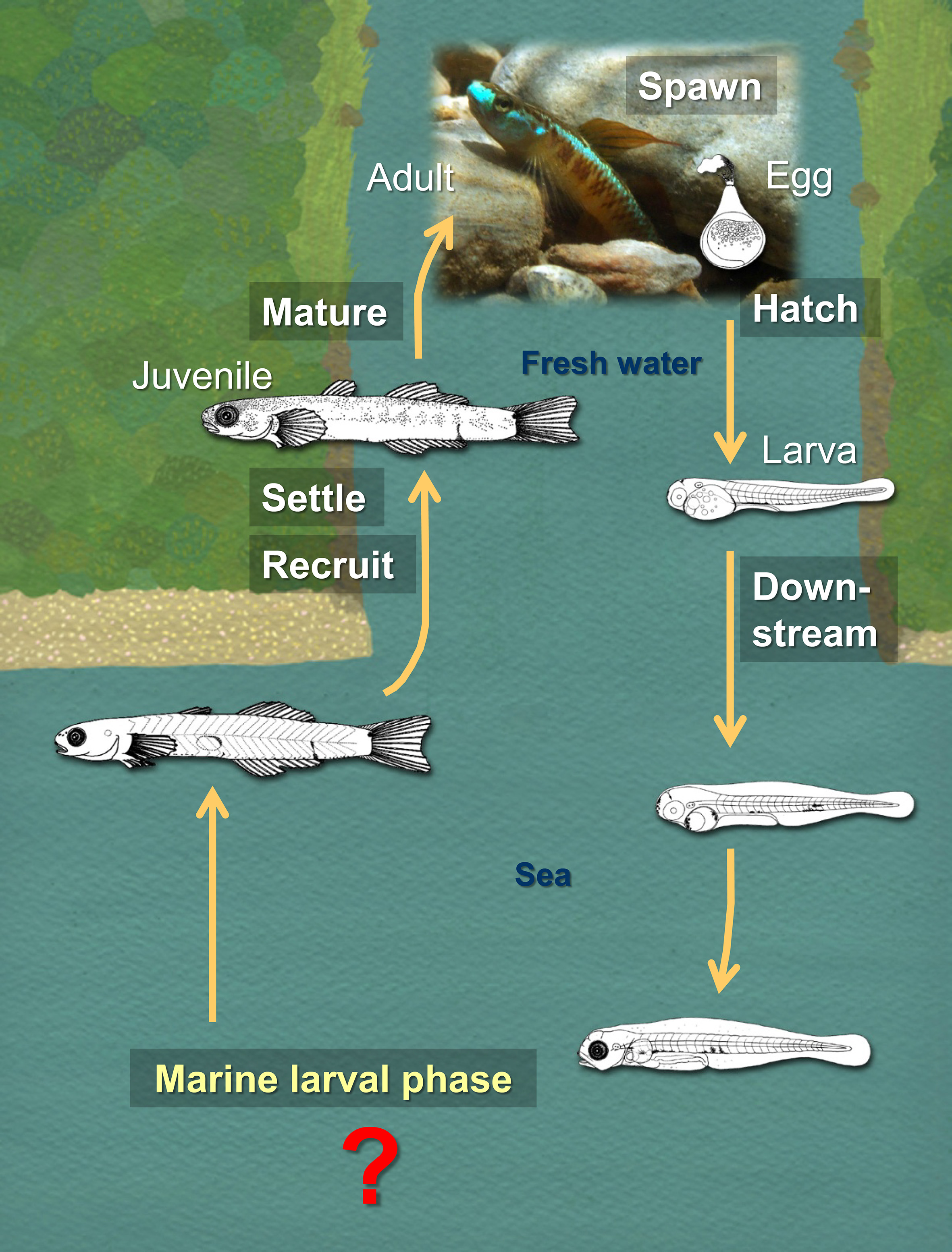 Many fish species found in Okinawa migrate between streams and the sea.  The larvae usually grow in marine habitats and then disperse during their larval phase.  Their larval ecology in marine habitats is unknown, though it is important for understanding their dispersal.