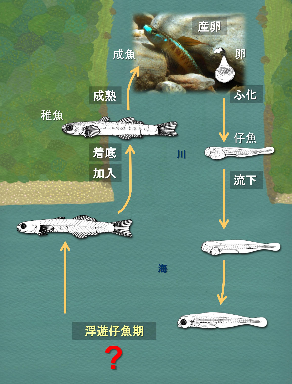 沖縄の川に住む魚の多くは、孵化してしばらくの間、海で成長する。この仔魚期の間に海流に運ばれ、遠くへ分散する機会を持つと推測されるが、海で過ごす仔魚の生態はほとんど未解明である。