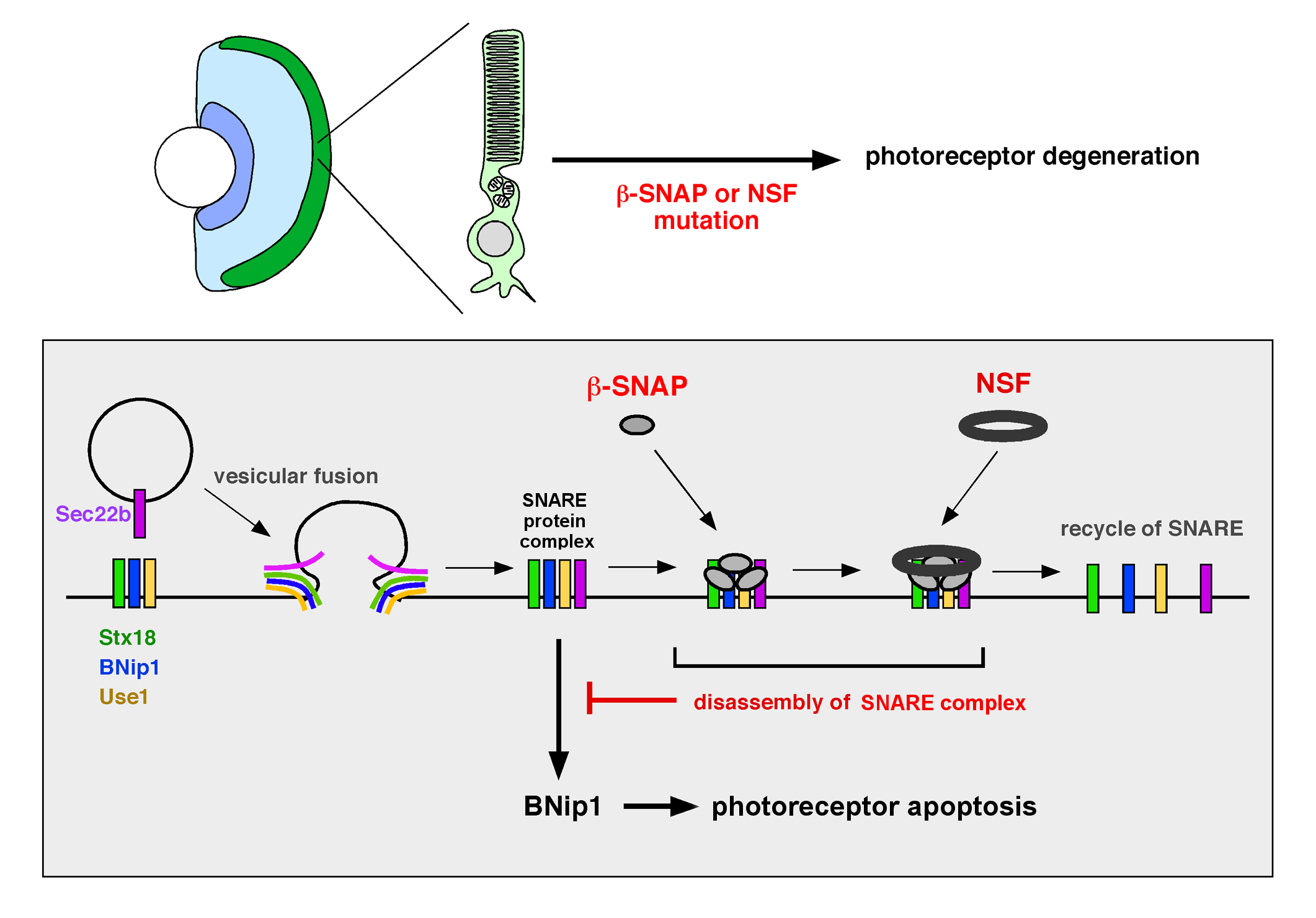 BNip1 Links Photoreceptor Apoptosis and Protein Transport Defects