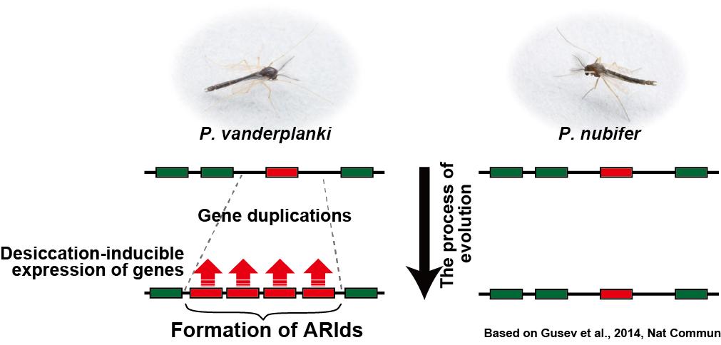 ネムリユスリカの乾燥無代謝休眠獲得に至るゲノムの進化過程(本論文から改変)
