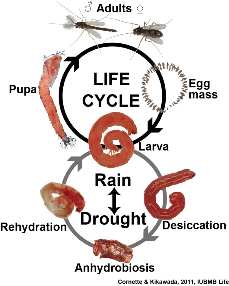 ネムリユスリカの乾燥無代謝休眠と生活環(Cornette & Kikawada, 2011から改変)