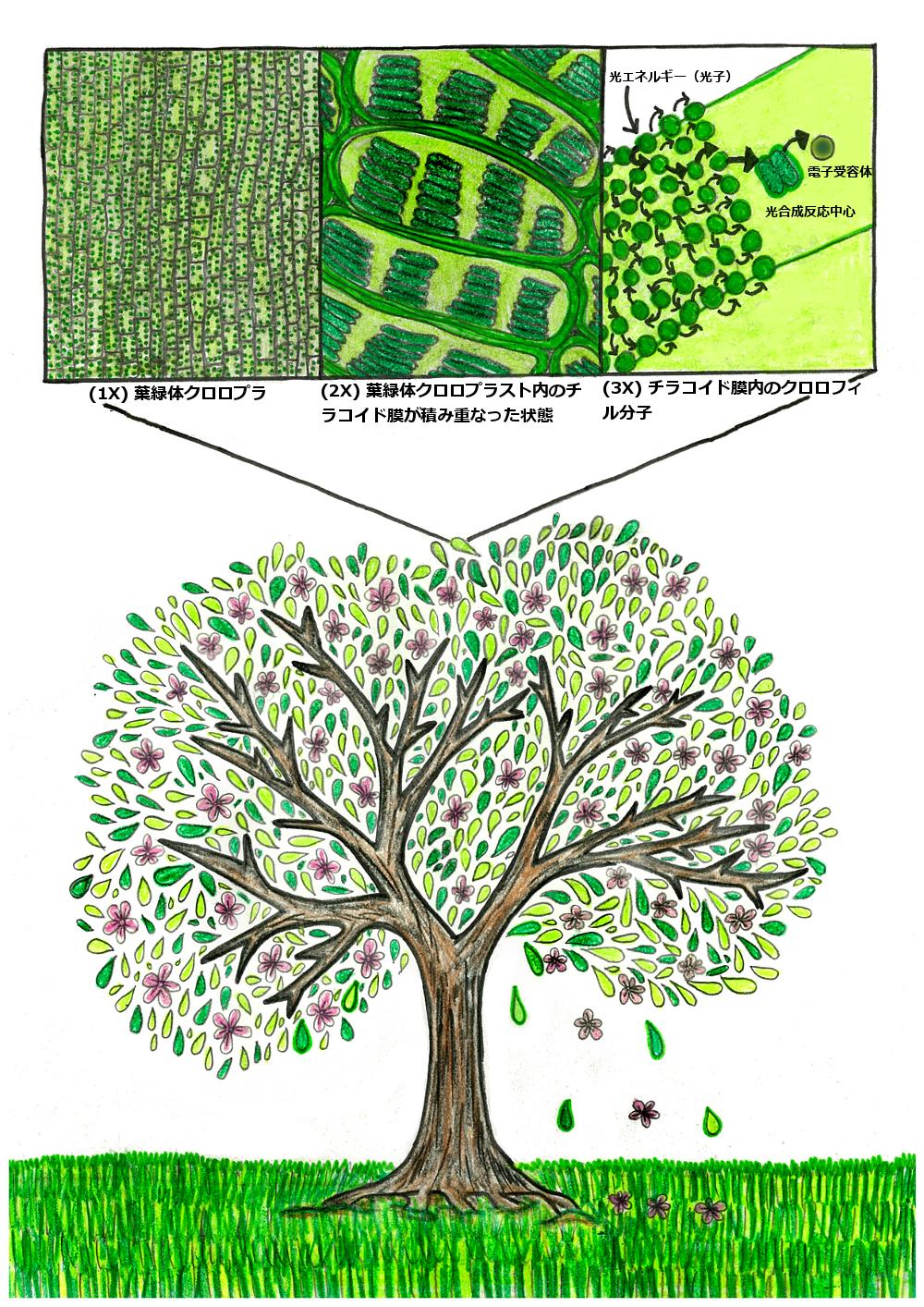 桜の木の量子現象