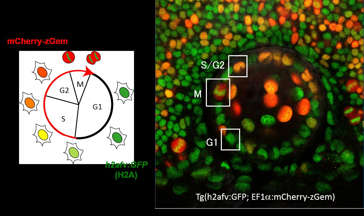 ゼブラフィッシュの上皮細胞で遺伝子操作により導入したmCherry-zGemとGFP-histoneを発現させた。細胞周期の初期段階では、GFP-histoneのみが発現するため細胞は緑色に発光する。細胞周期の進行に伴い、mCherry-zGemが発現し、細胞の色もやがて深紅色へと変化する。