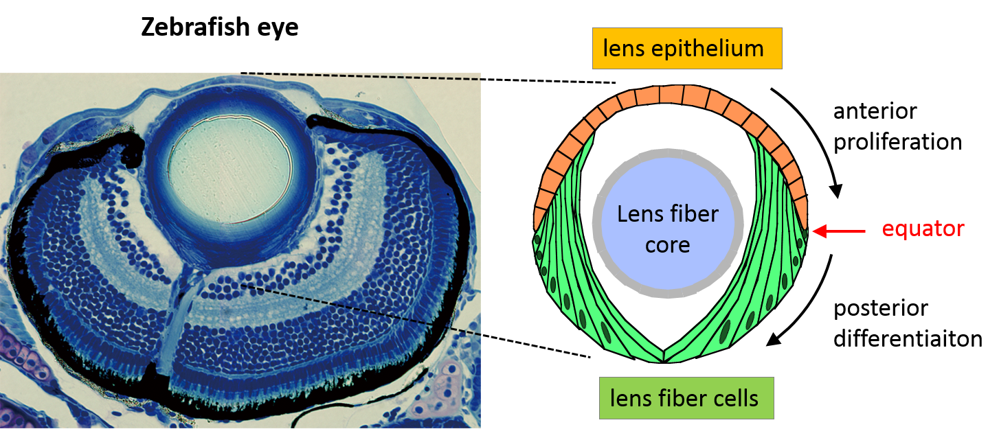 キャプション:ゼブラフィッシュの眼の切片像。左の写真は顕微鏡で撮影したゼブラフィッシュの眼球の切片。写真上が眼球前部で、写真下が眼球後部。右図は水晶体の上皮細胞と線維細胞について、他の眼球構造との相対的な位置関係を示したもの。