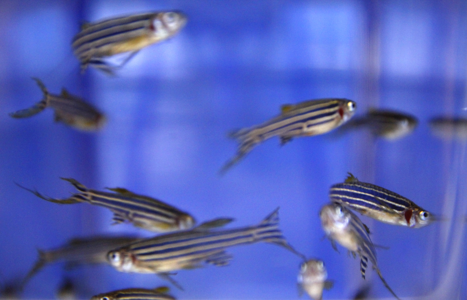 zebra fish and the affect of Antiangiogenic effects of aa-pme on huvecs in vitro and zebrafish in vivo yue jing,1,2, gang wang,1, qi xiao,1 yachun zhou,1 yingjie wei,3 zhunan gong1 1center.