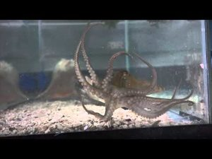 Octopus Bimaculoides Wall Crawl