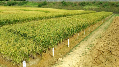 Ripening plots of a new resistant starch rice strain