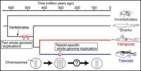 Evolution of major vertebrates and whole genome duplication events