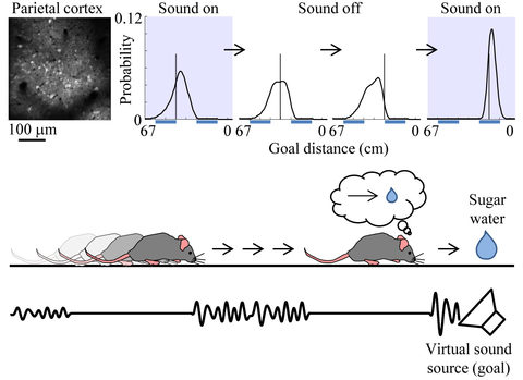 Probabilistic neural decoding allows for the estimation of the goal distance from neuronal activity imaged from the parietal cortex. Neurons could predict the goal distance even during sound omissions. The prediction became more accurate when sound was given. These results suggest that the parietal cortex predicts the goal distance from movement and updates the prediction with sensory inputs, in the same way as dynamic Bayesian inference.