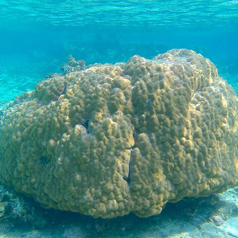 Porites australiensis coral in waters off Ishigaki Island, Japan