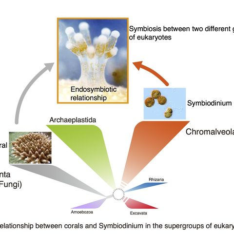 Figure 1. Relationship between corals and Symbiodinium in the supergroups of eukaryotes