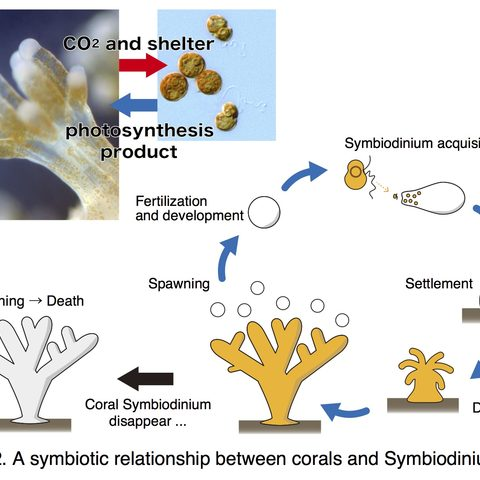 Figure 2. A symbiotic relationship between corals and Symbiodinium