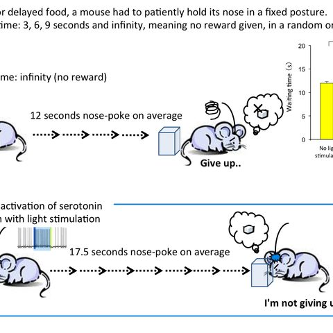 Figure 3. Effect of serotonin activation on waiting time during reward omission.