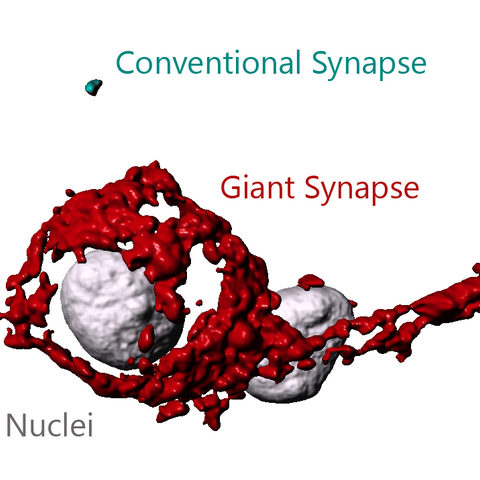 Visual comparison of a giant synapse versus a conventional synapse