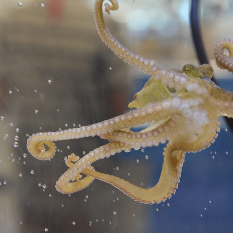 OIST Marine Science Station Octopus