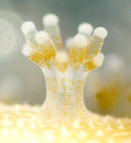 Coral polyps with Symbiodinium (brown)