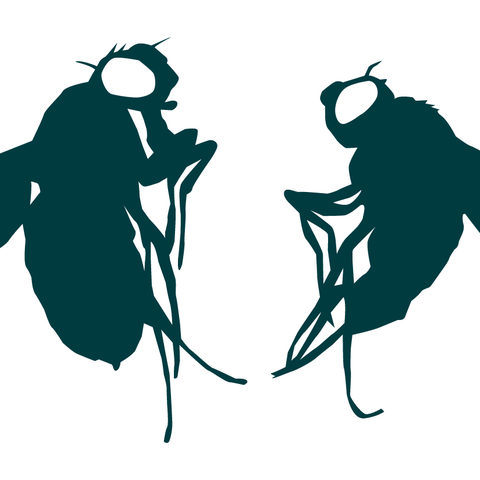 Female and male Drosophila melanogaster