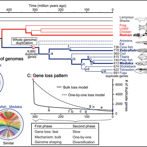 Gene loss pattern after teleost-specific whole genome duplication