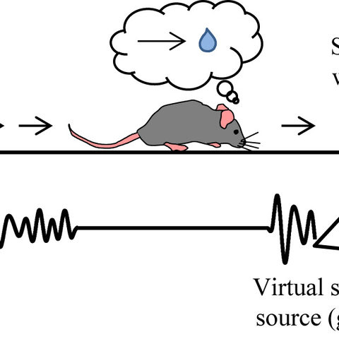 Mice are eager to find the virtual sound source to get the sugar water reward. When the mice get closer to the goal, they increase licking in expectation of the sugar water reward. They increased licking when the sound is on but also when the sound is omitted. This result suggests that mice estimate the goal distance by taking their own movement into account.