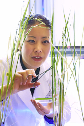Developing a high-fiber rice strain from western Japan with a local Okinawa strain