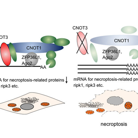 Suppression of the mRNA turn-over leads to necroptosis