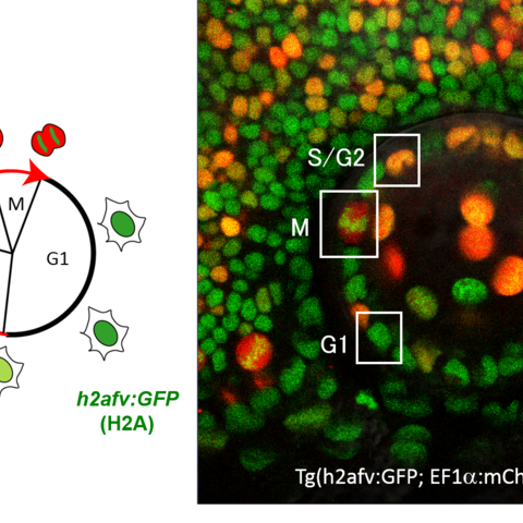 Zebrafish lens epithelial cells were bioengineered to express fluorescent proteins mCherry-zGem and GFP-tagged histones. Early in the cell cycle, only GFP-histones are expressed, resulting in a green color. As the cell progresses through the cell cycle, mCherry-zGem is expressed at progressively higher levels, shifting the cell's apparent color along the color spectrum ending in a deep red color.